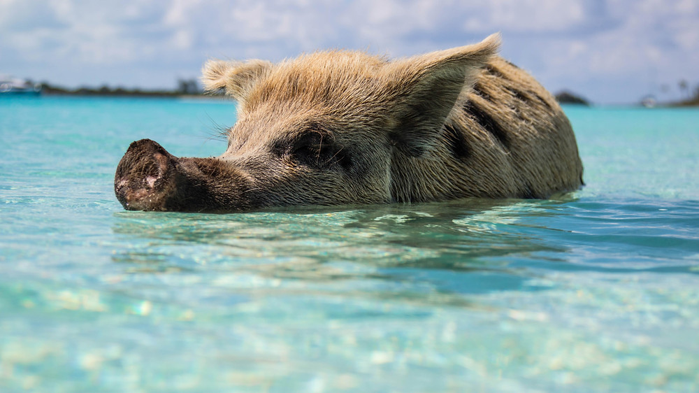 Swimming pig at Exuma in The Bahamas