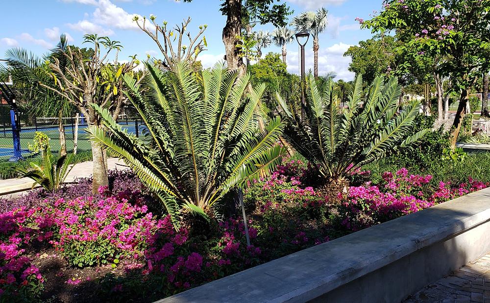Encephalartos sclavoi in Belen Courtyard, Miami, FL