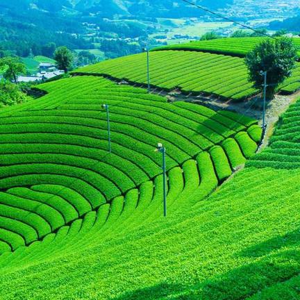 Au Japon, la cérémonie du thé se raconte
