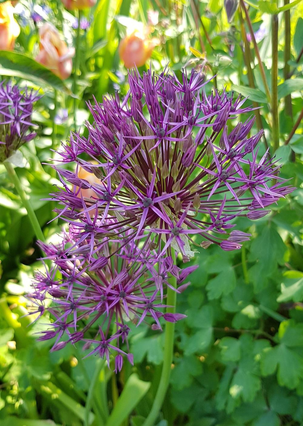 Allium cristophii - Wild Edge Garden Design Cheltenham