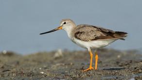 The Eurasian Shorebird Survey is here