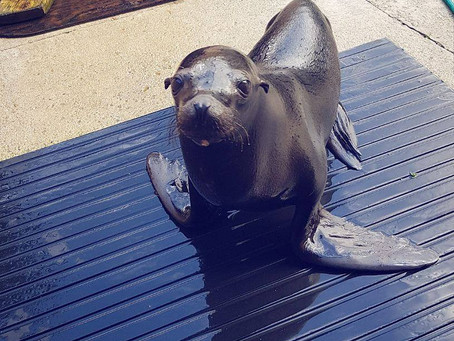 Murphy, our one year old sea lion