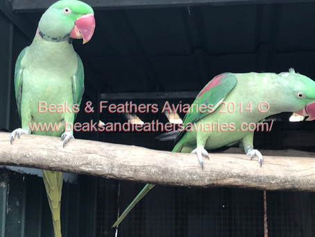 A lovely unrelated well bonded Pair of Alexandrines