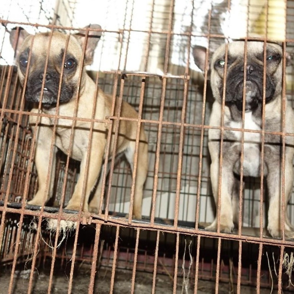 Two French bulldog puppies in a cage at a puppy mill