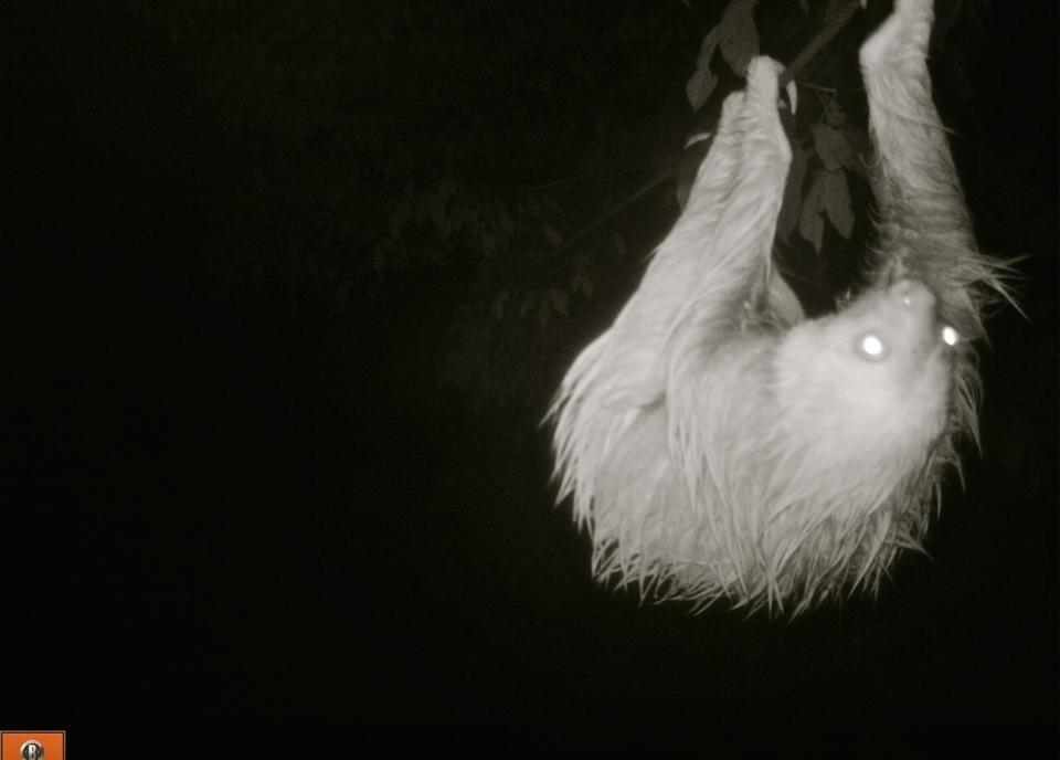 Ziplining sloth at Finca Bellavista