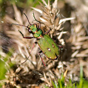 Withycombe Raleigh Common- beetle
