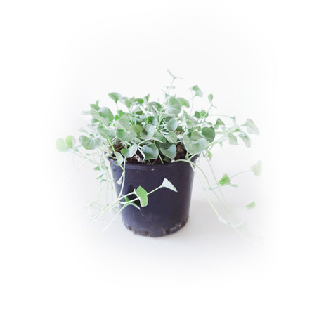 How to grow and care Dichondra silver falls