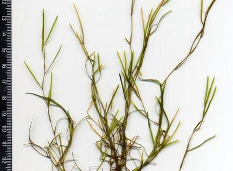 Thin-Leaved Submerged Pondweeds