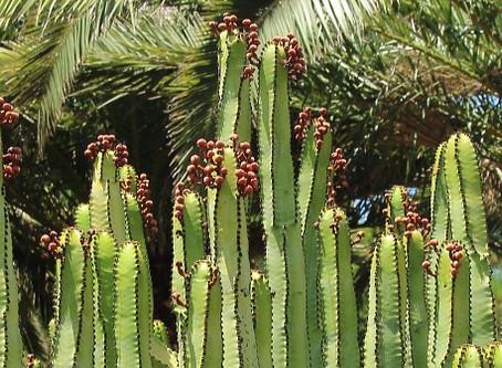 Top 10 des plantes pour terrains arides : l'euphorbe