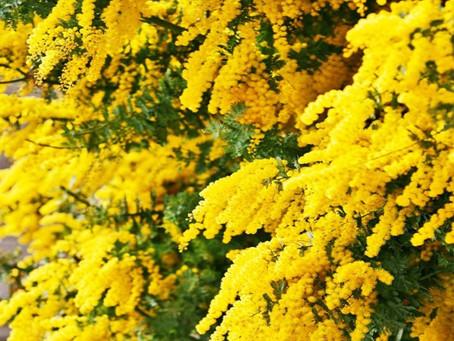12 Facts Why Golden Wattle Is Australian National Flower, Grow Golden Wattle In Your Garden.