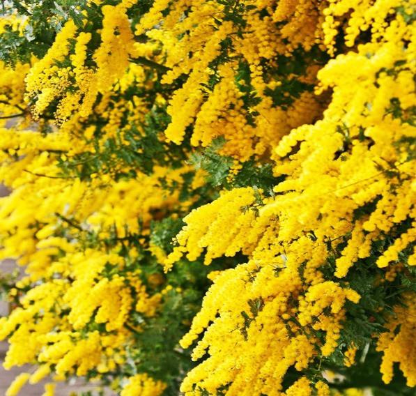 Australian national flower golden wattle