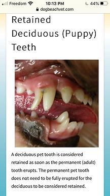 Still Dental Month! Retained Puppy Teeth
