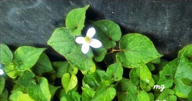 Houttuynia cordata or Fish-mint plant with white flowers