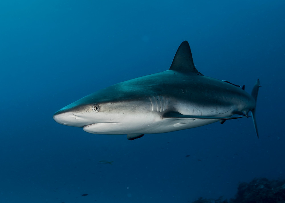 a Caribbean reef shark photographed by Matt McGee