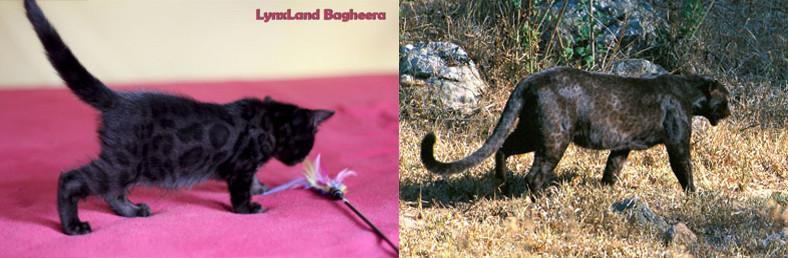 melanistic bengal cat and leopard a/a