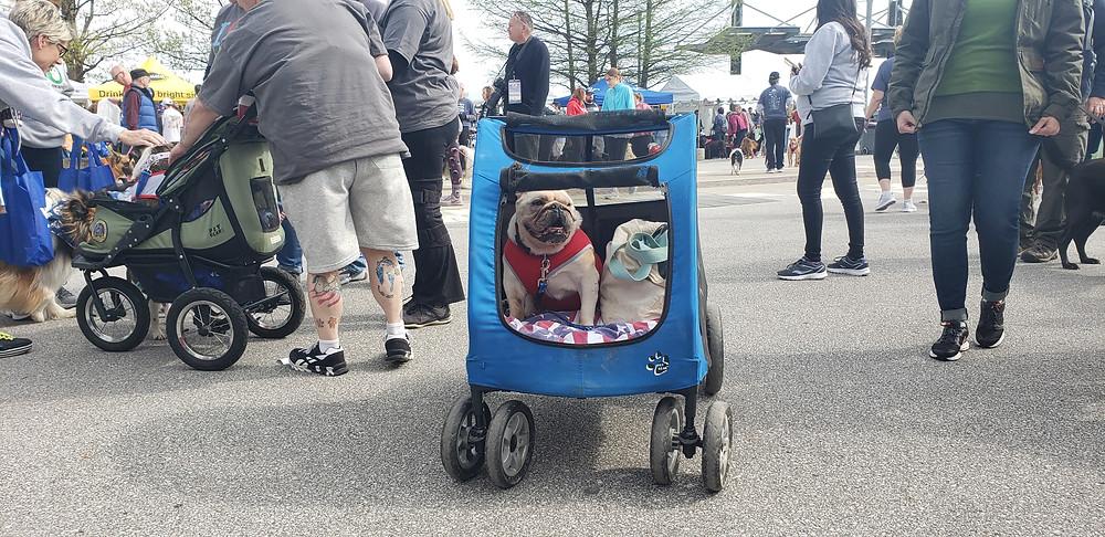 Bulldog in stroller