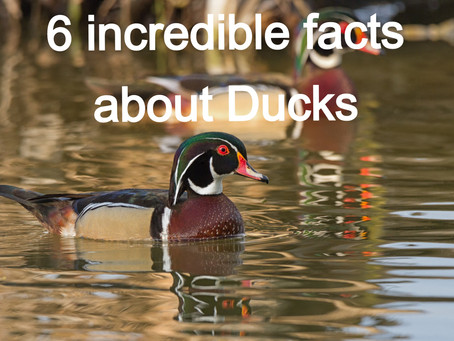 6 incredible facts about Ducks