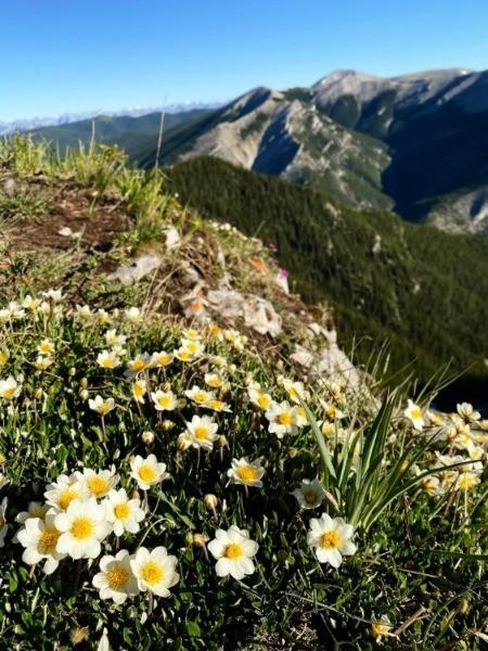 Flowers on Prairie Mountain in Kananaskis