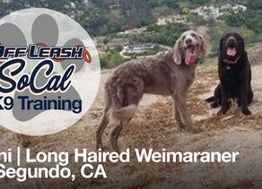 Nani | Long Haired Weimaraner | El Segundo, CA