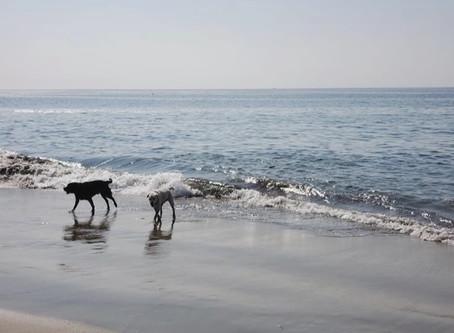 Doggies Beat Heat at Beach