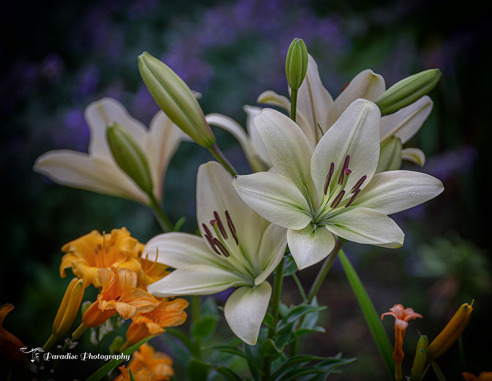 I am lucky that I live in an area where there is never a shortage of flowers at bloom. Lillies are the stars at the moment.