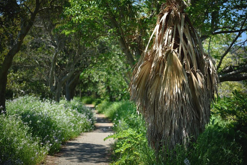 草のお化けのようなヤシの枯れ葉 / A monster-like withered leaves of palmetto tree