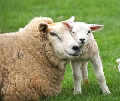 Responsible Wool Stadard Happy Sheep Lambs