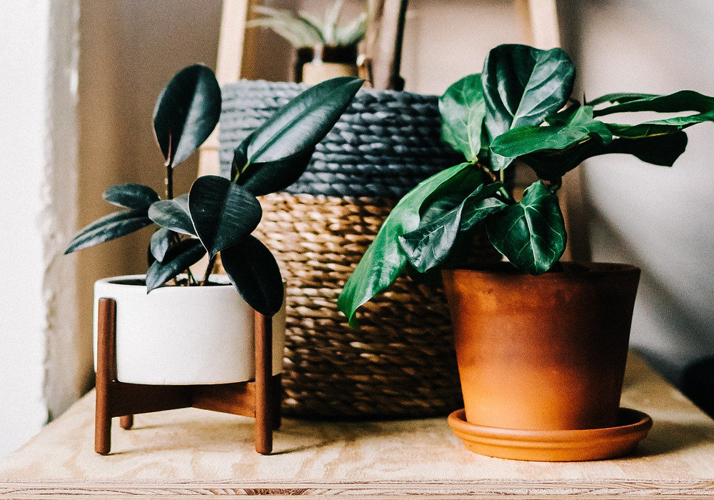 AC or air conditioners can hurt fiddle leaf fig. Figs are used to the still, warm conditions of the rainforest. Cold drafts from windows, doors and cooling machines may cause its leaves to dry.