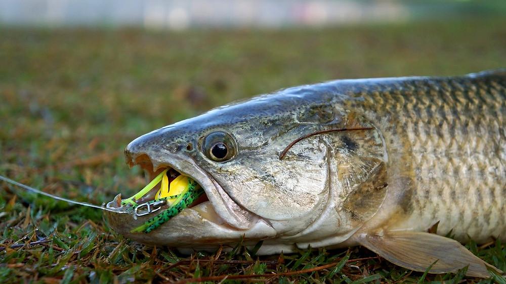 traíra pesca trairão