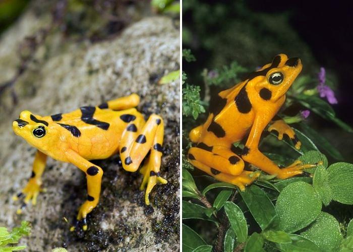 La grenouille dorée du Panama