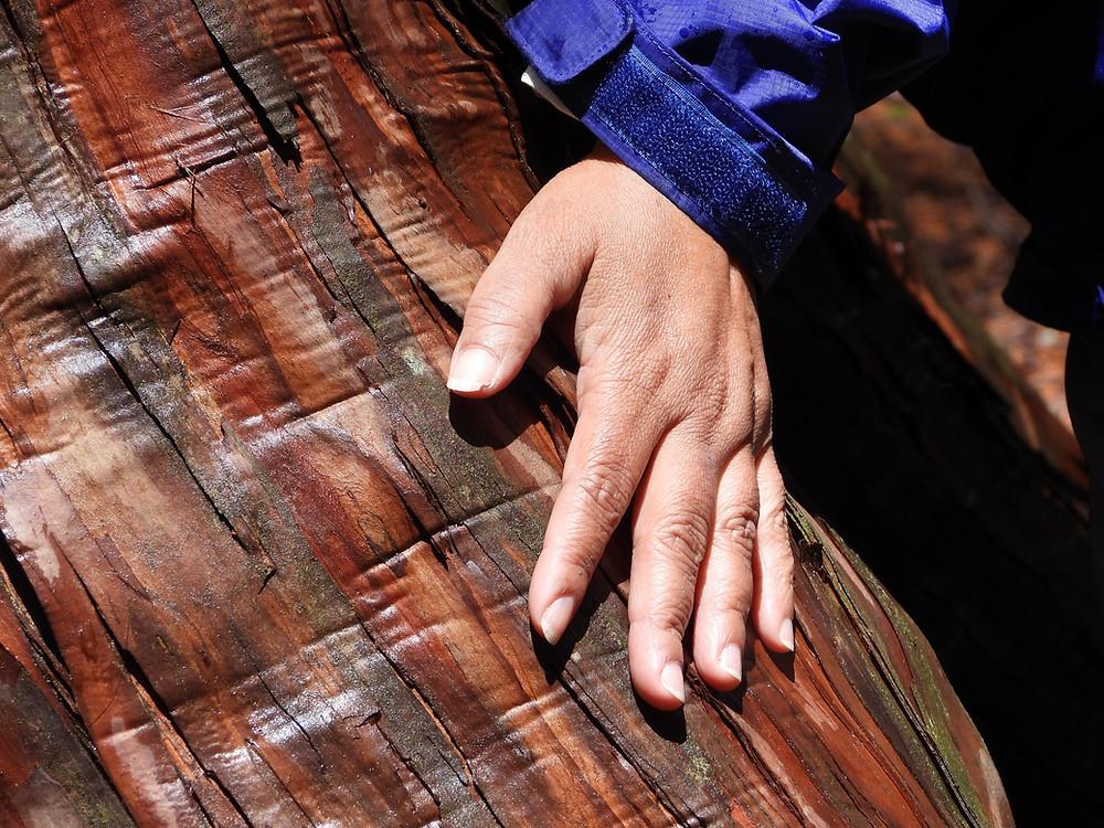 De bast van een boom aanraken is een sensorische ervaring die helpend is in tijden van huidhonger. De deelnemer aan de shinrin-yoku tocht in Akasawa (Japan) raakt een Hinoki-cypres van meer dan 400 jaar oud aan.