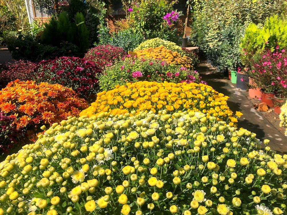 Χρυσάνθεμα σε πολλά χρώματα και ποικιλίες στο Φυτώριο Σφυρί | Φωτ.: Αρχείο WLM