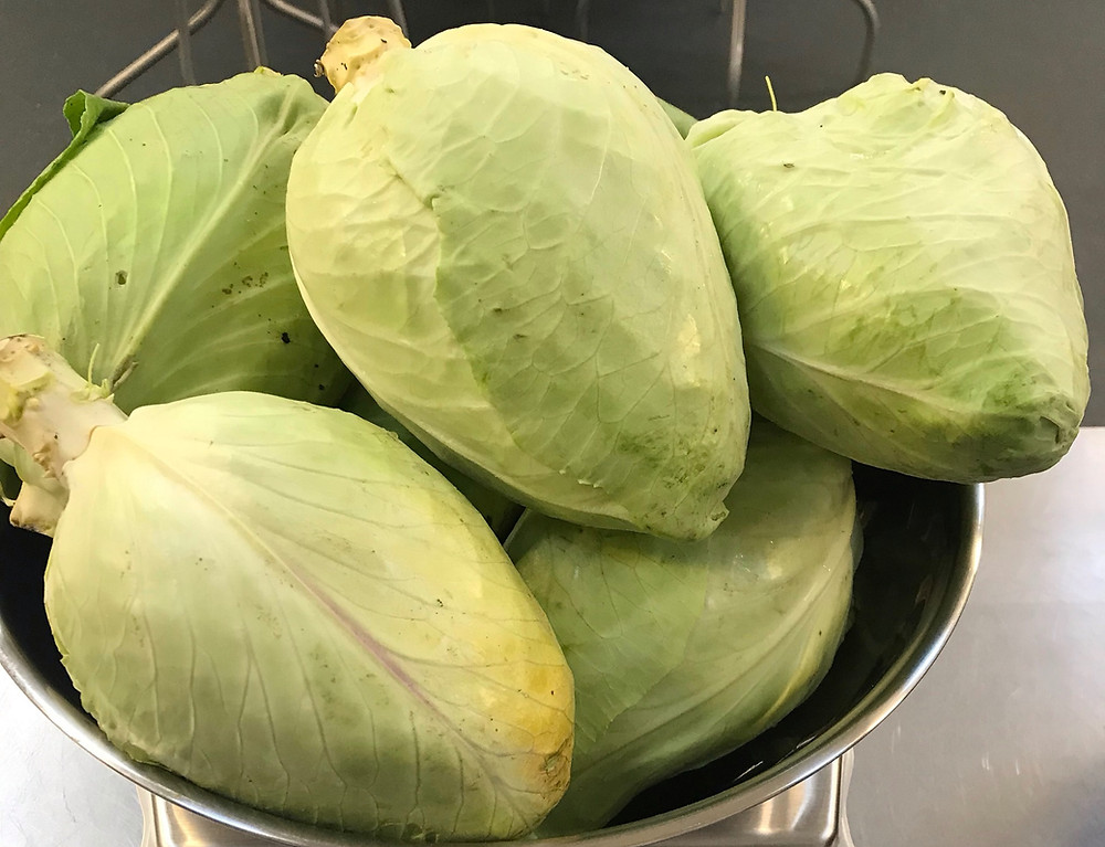 Sweetheart white cabbage in a weighing scale ready to make sauerkraut