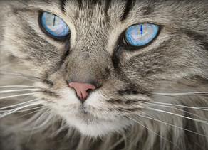Koty mogą się zakażać koronawirusem od ludzi