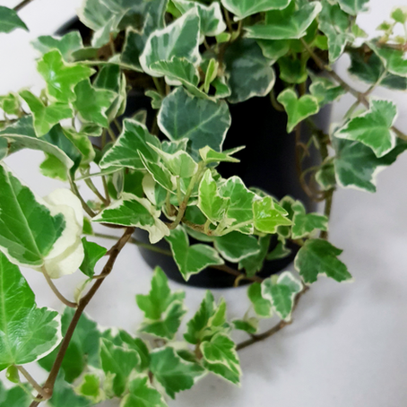 How to grow and care Hedera helix Variegata - English Ivy Variegated