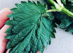 Stinging Nettle - The Next Superfood