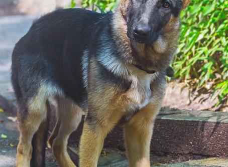 A shepherd puppy photo shoot