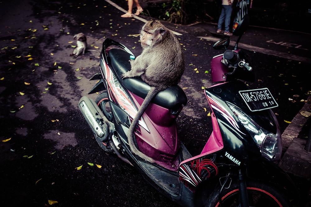 monkey ubud bali indonesia