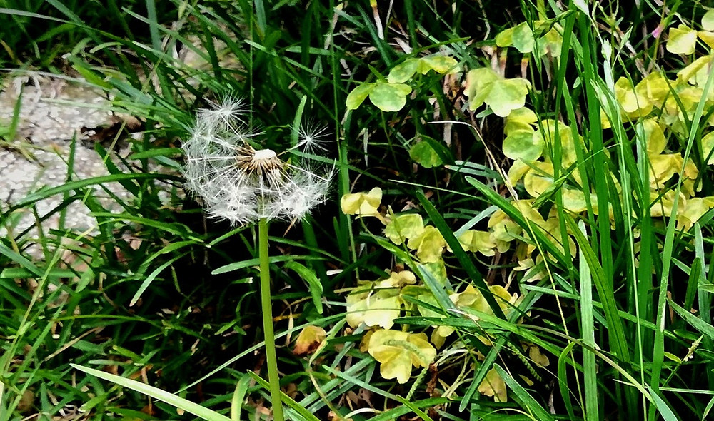 Dandelion seed with grass, wood sorrel, and stepping stone