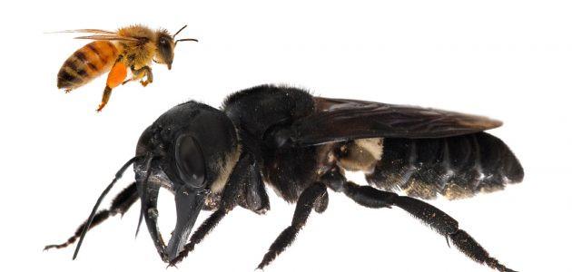abeille noire , Megachile pluto , espèce ,