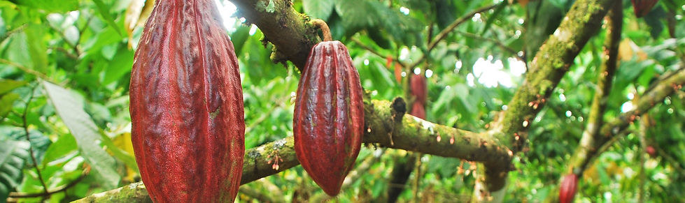 cocoa-pods-branch.jpg
