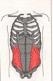 Internal oblique muscles