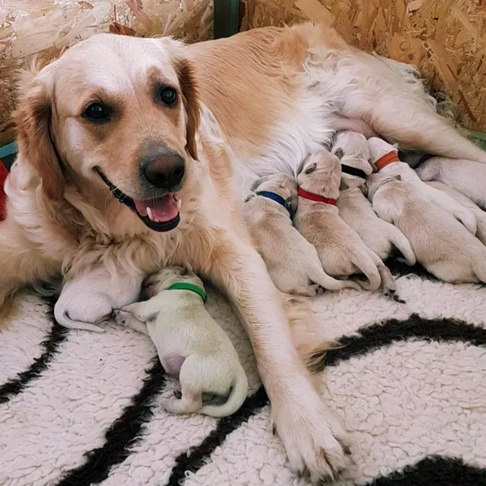 A Golden Retriever Gave Birth to a Green Puppy