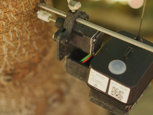 When to start irrigating after rain? (Hint: let the trees tell you)