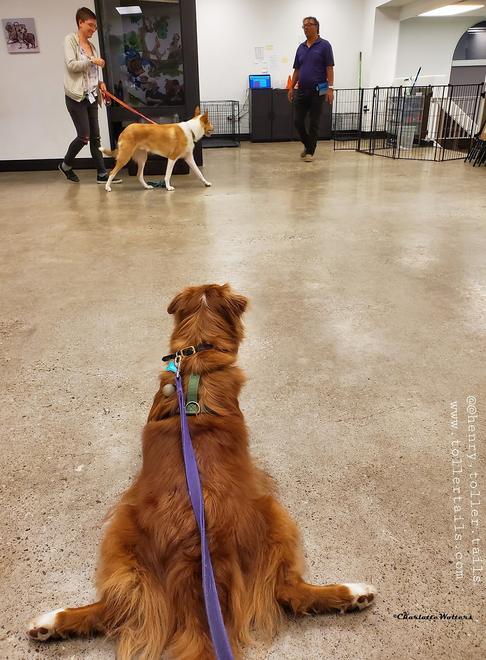 Henry Toller Tails paying attention in dog training class.