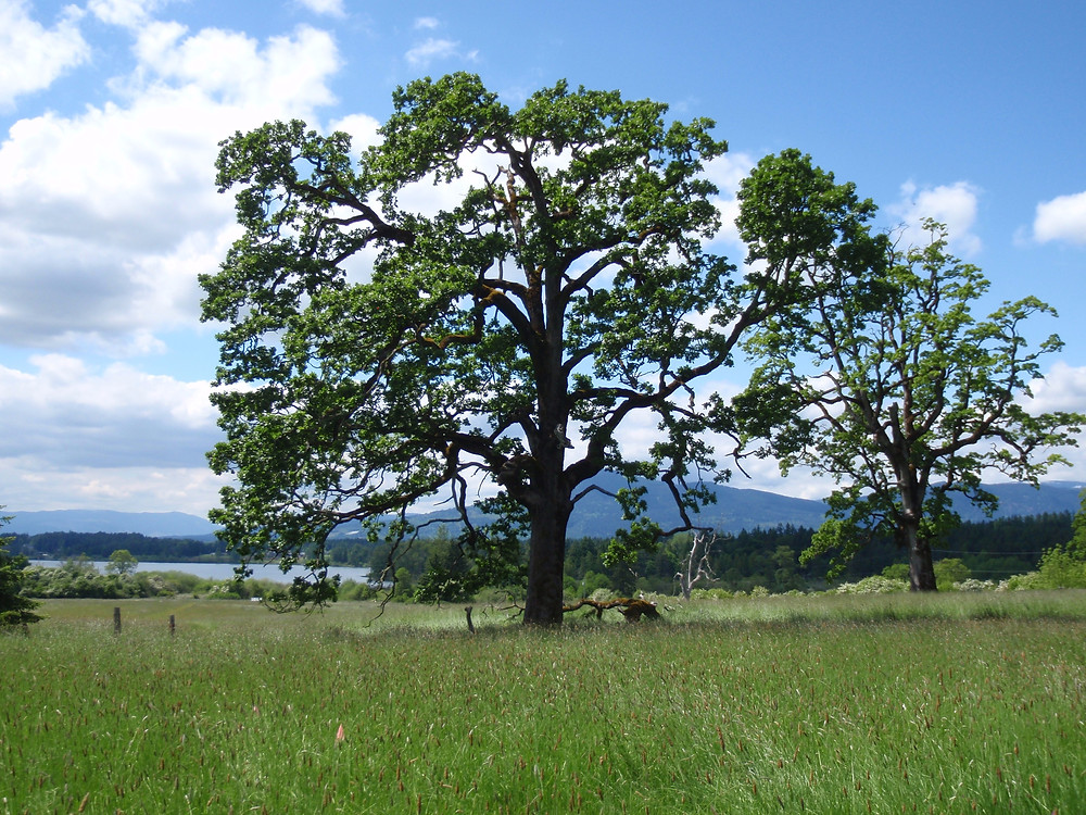 A large garry oak stands in the middle of an open field
