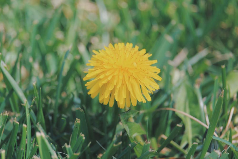 En maskros i grönt gräs