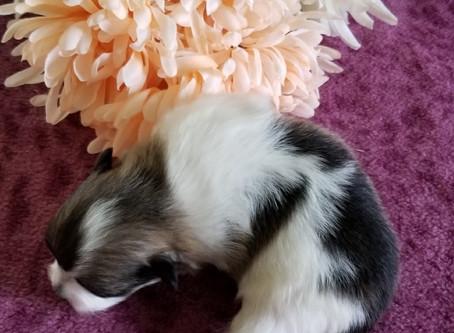 CKC Registered Pomeranian Baby Puppy-Sold
