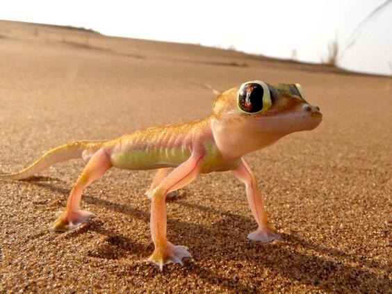 Le Gecko Palmato d'Afrique