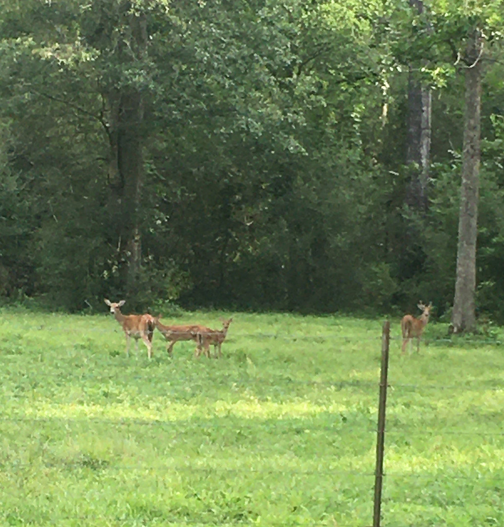 Family of deer while on scenic drive in Southeast Texas